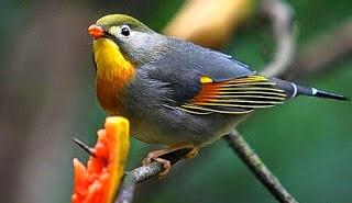Gambar Cara Merawat Burung Panca Warna