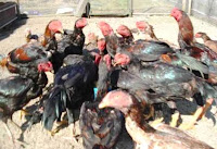 ayam siam ayam bangkok istimewa