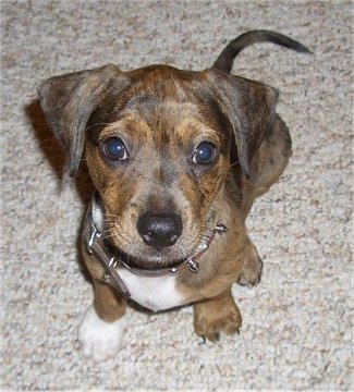 Dachshund Terrier Mix