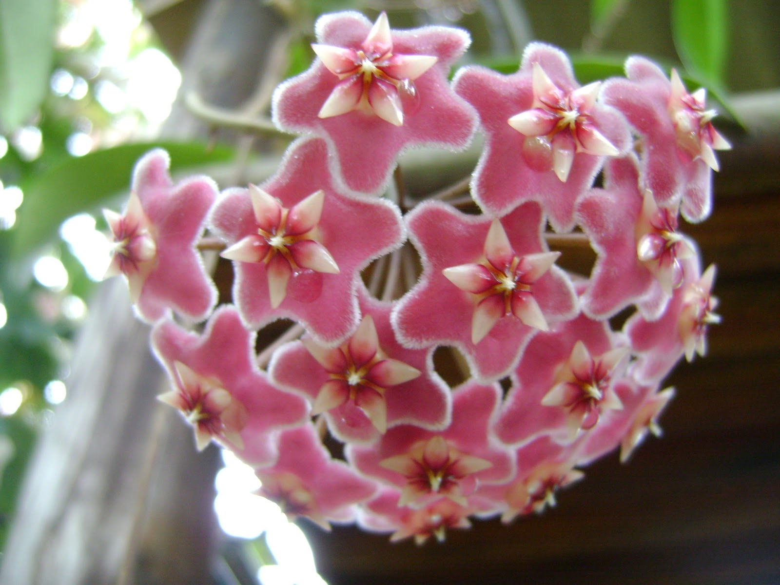 Three Different Flowering Hoya Plants