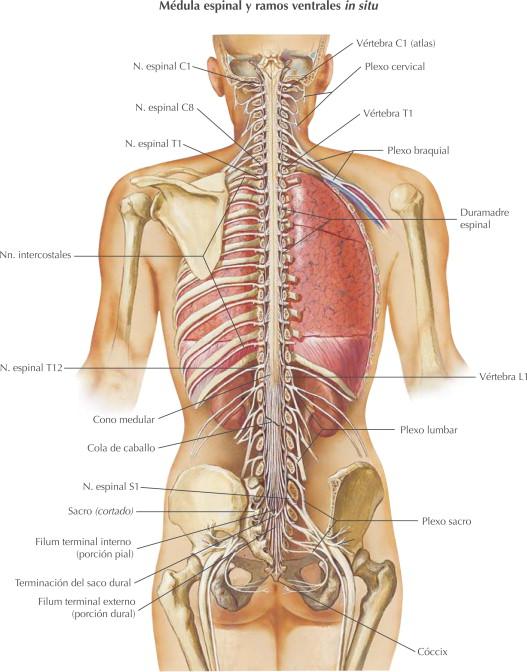 Sistema nervioso: nervios espinales   Netter Blog