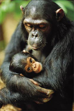 most expensive, most expensive animal, most expensive Chimpanzee