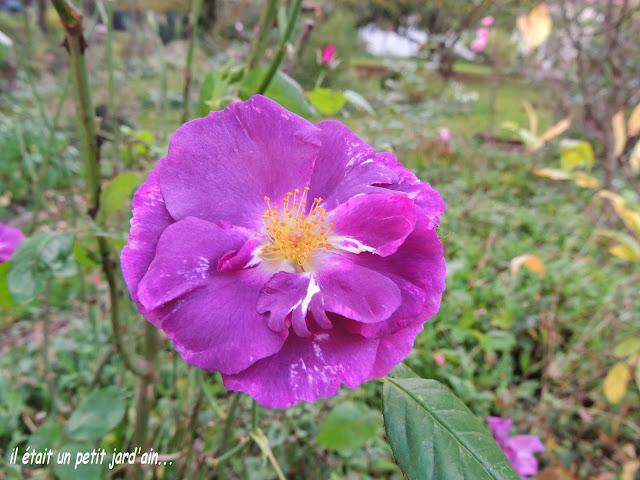 rosier parfumé