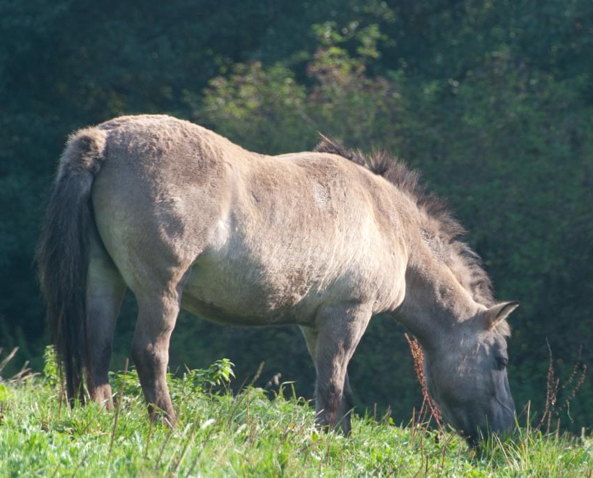Tarpan - Pferde in Hardehausen