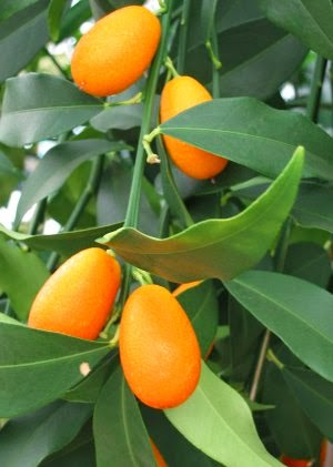 healthy round kumquat