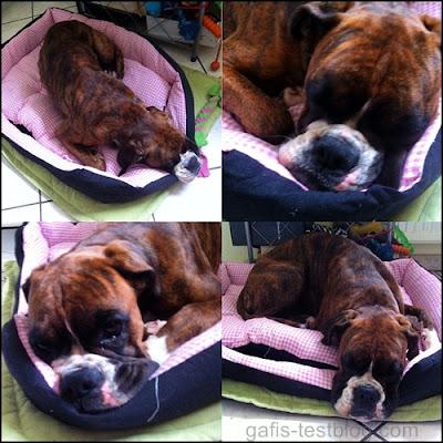 Boxer Amy schläft im neuen Kuschelbett
