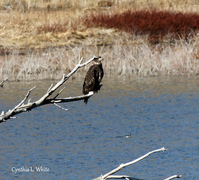 Finally! So fortunate to photo a 'teenager' Bald Eagle in our area of Prescott, Az. The Bald Eagl...