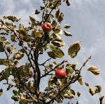 Castle Bromwich Hall Gardens - Apple Day Weekend!