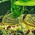Cara Pembenihan Budidaya Ikan Corydoras