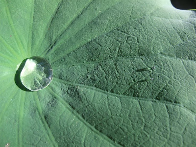 water droplet on lotus leaf