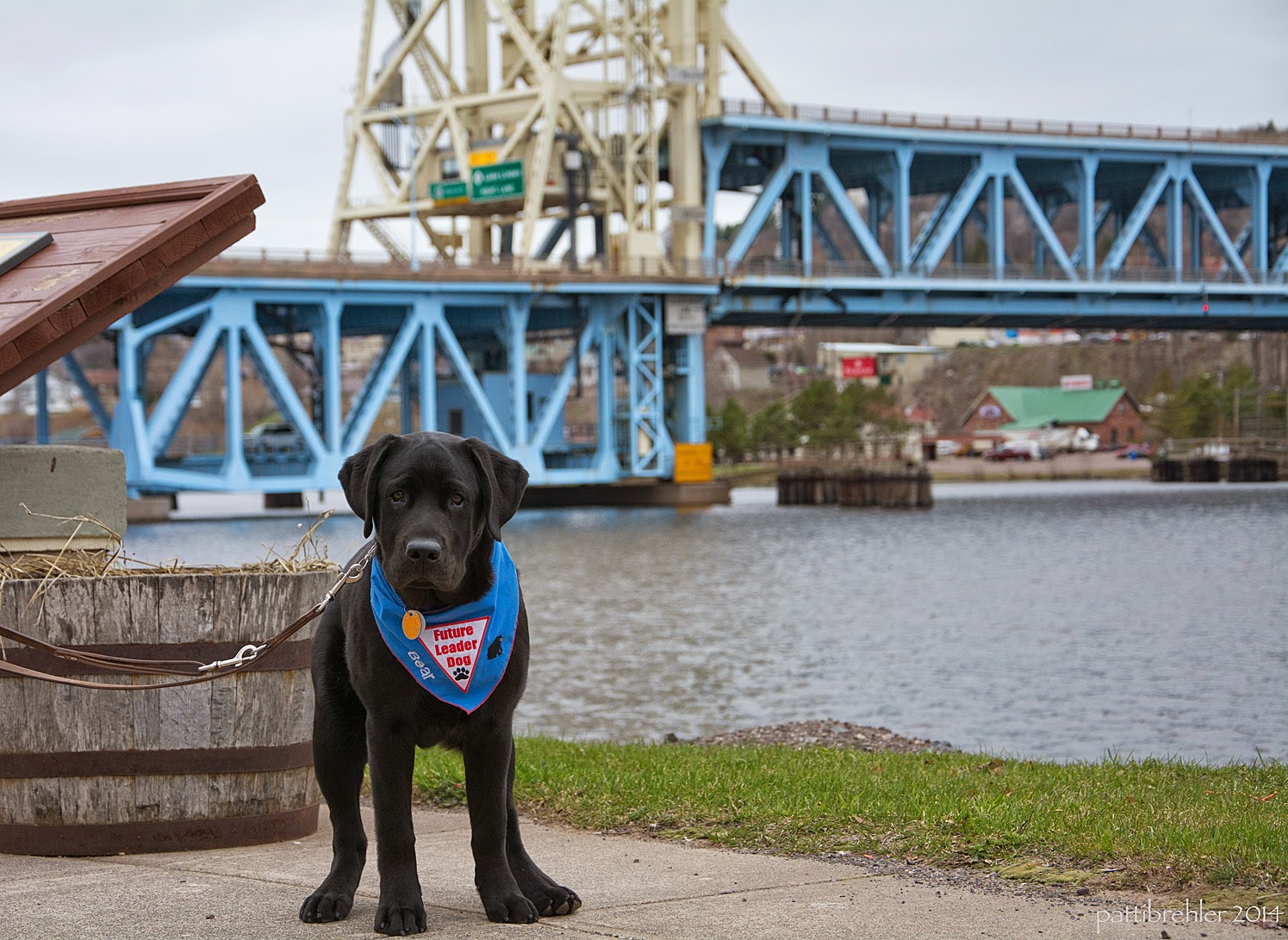 A black lab puppy wearing the blue Future Leader Dog bandana is standing and facing the camera. His leash is attached to something out of view to the left. In the background is a metal bridge over some water.