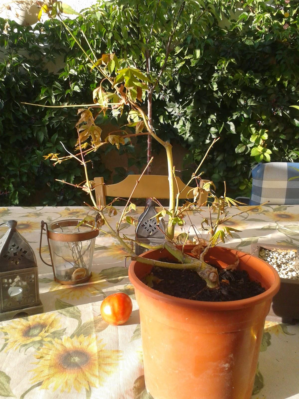 Inicios de la evolucion de Arce Palmatum 2014-08-21%2B19.50.52
