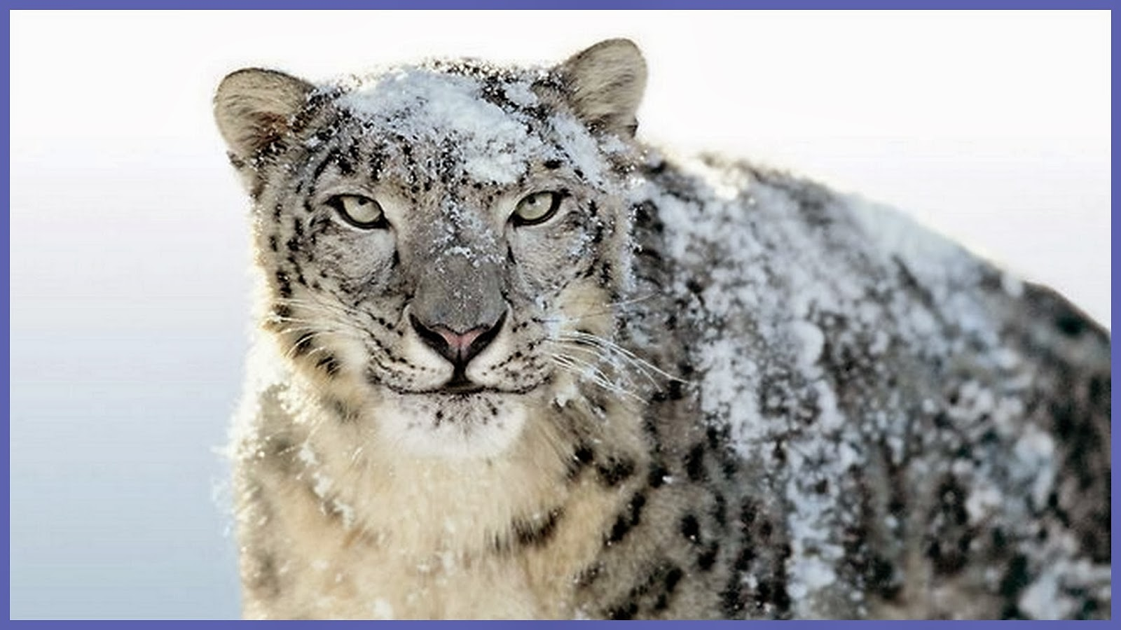 snow leopard in northern tibet It was november in changtang—part of the high-altitude tibetan plateau in  western and northern tibet, china, extending into southeastern.