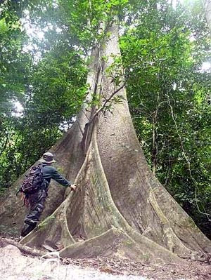Forest giants amaze a trekker in Ulu Muda forest.