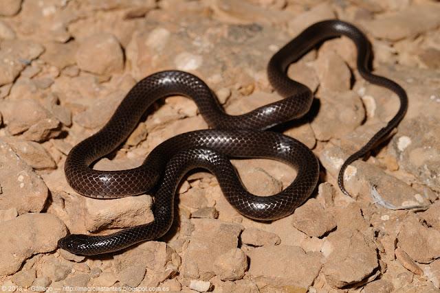 Rhynchocalamus arabicus