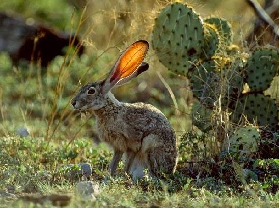Kelinci Jack Rabbit adalah Hewan yang Cepat
