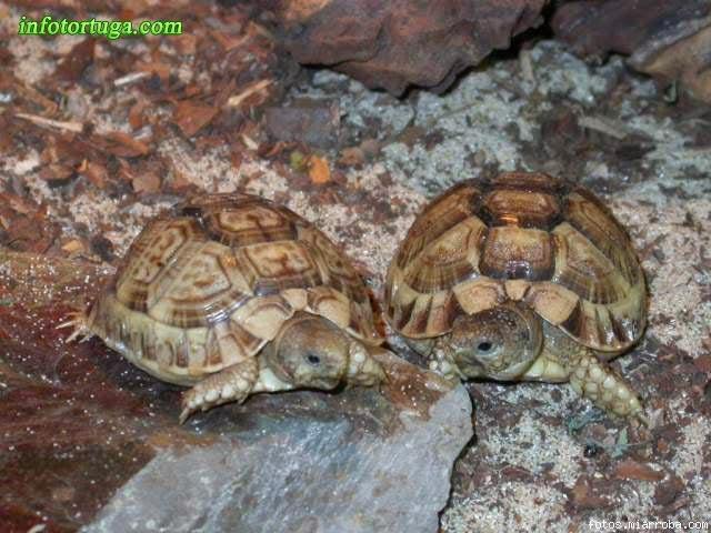 Tortugas egipcias