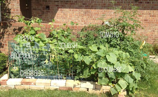 garden with pepper, squash, tomato, broccoli, cabbage
