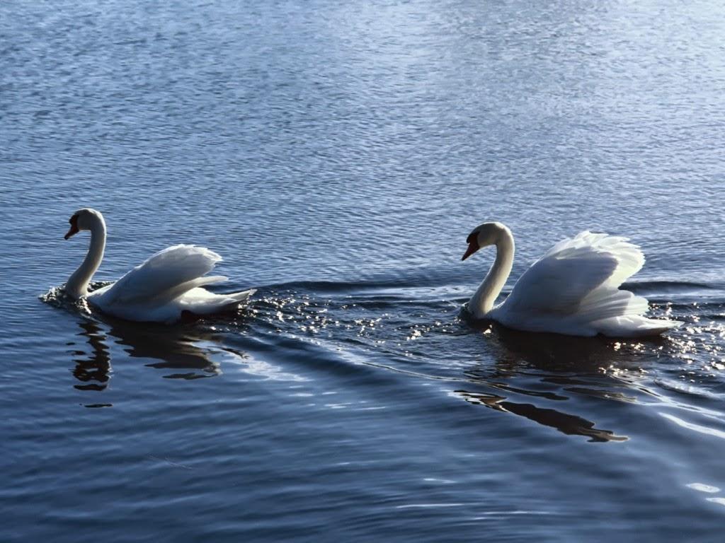"""<img src=""""http://2.bp.blogspot.com/-kzyn92ddbHo/Utmcos5JzBI/AAAAAAAAIs4/g_4LkCjN5lk/s1600/duck-follow-his-love.jpeg"""" alt=""""duck follows his love"""" />"""