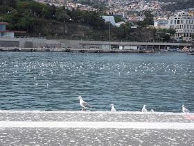 Gaivotas cagam tudo e todos no Porto do Funchal