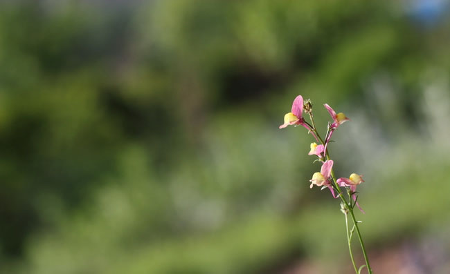 Toadflax Flowers Pictures