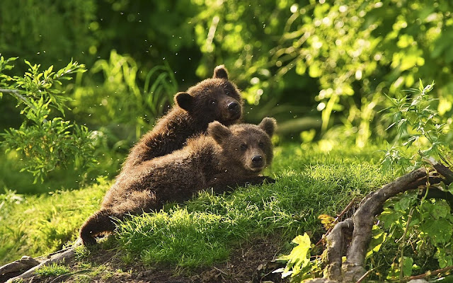young brown bears photo