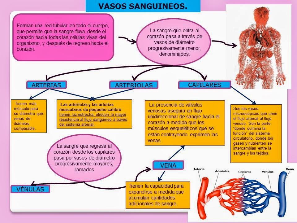 VASOS SANGUÍNEOS. | Blog de Fisiología Médica