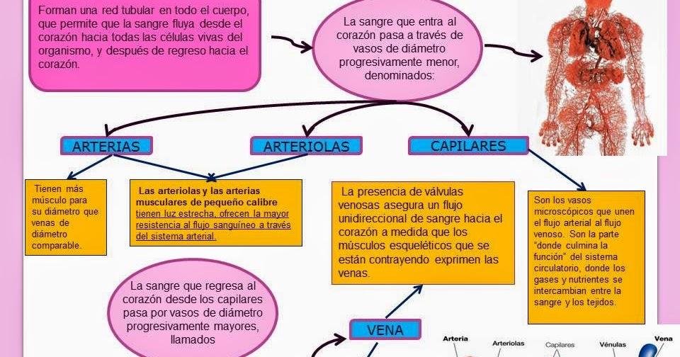 VASOS SANGUÍNEOS.   Blog de Fisiología Médica