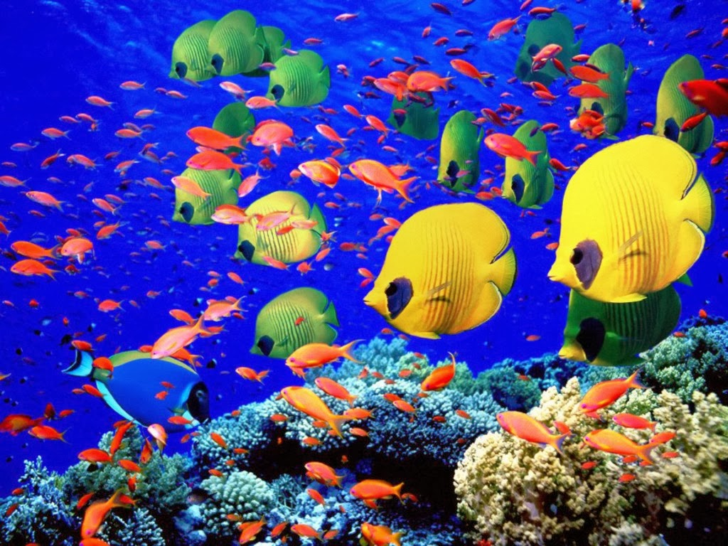 All new wallpaper coral reef life fish wallpapers for All about fish