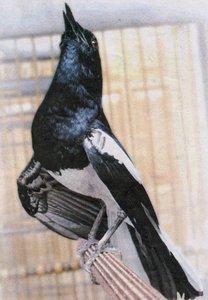 Tips cara memaster burung kacer dengan sura-suara burung masteran