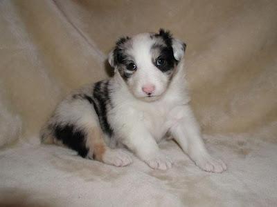 Cute Australian Shepherd (Aussie) Puppy