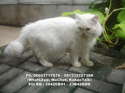 Hamster Dan Kucing Persia Murah Surabaya: DI JUAL KUCING JANTAN DEWASA ...