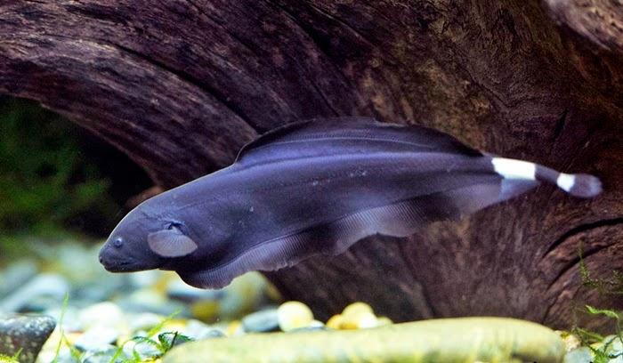 Budidaya Ikan Blackghost