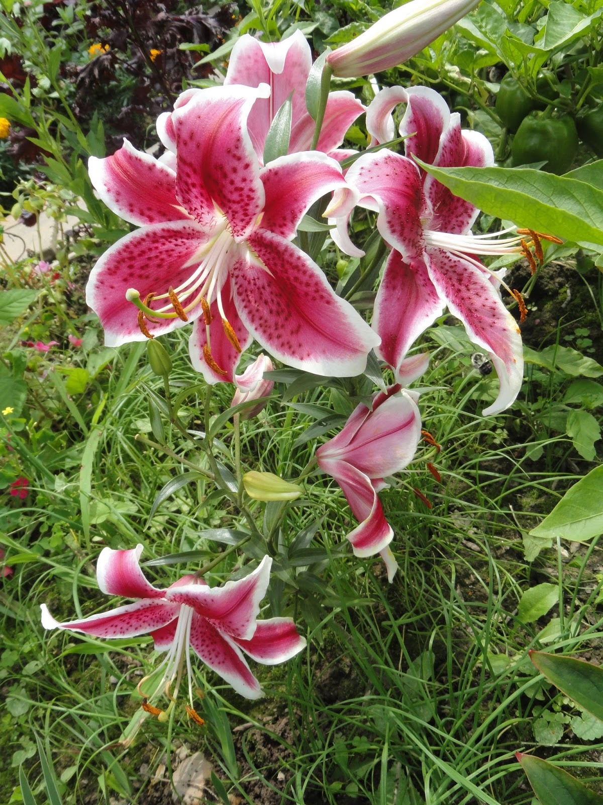 Dr Tsais Blog Our Lilies Came From A Distinguished Family