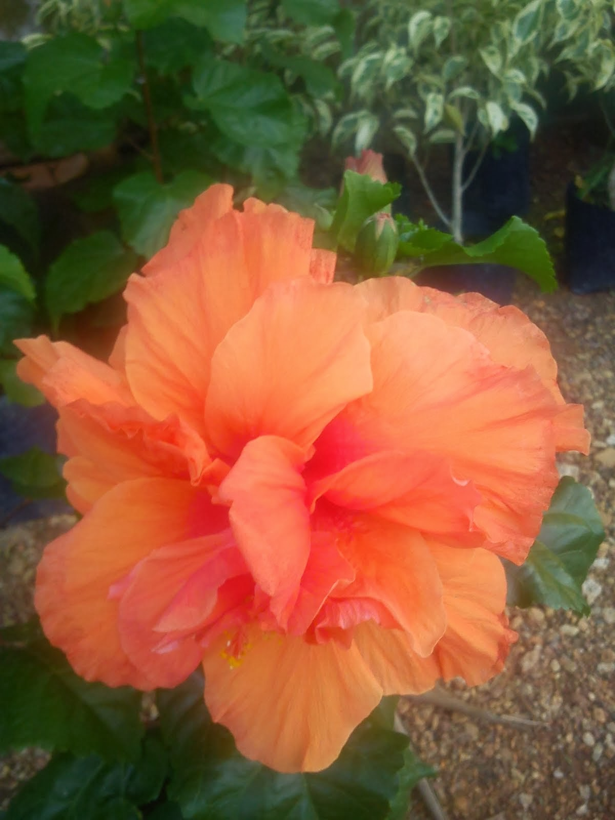 HIBISCUS ROSASINENSIS ORANGE