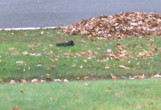 Black Squirrel  Faints
