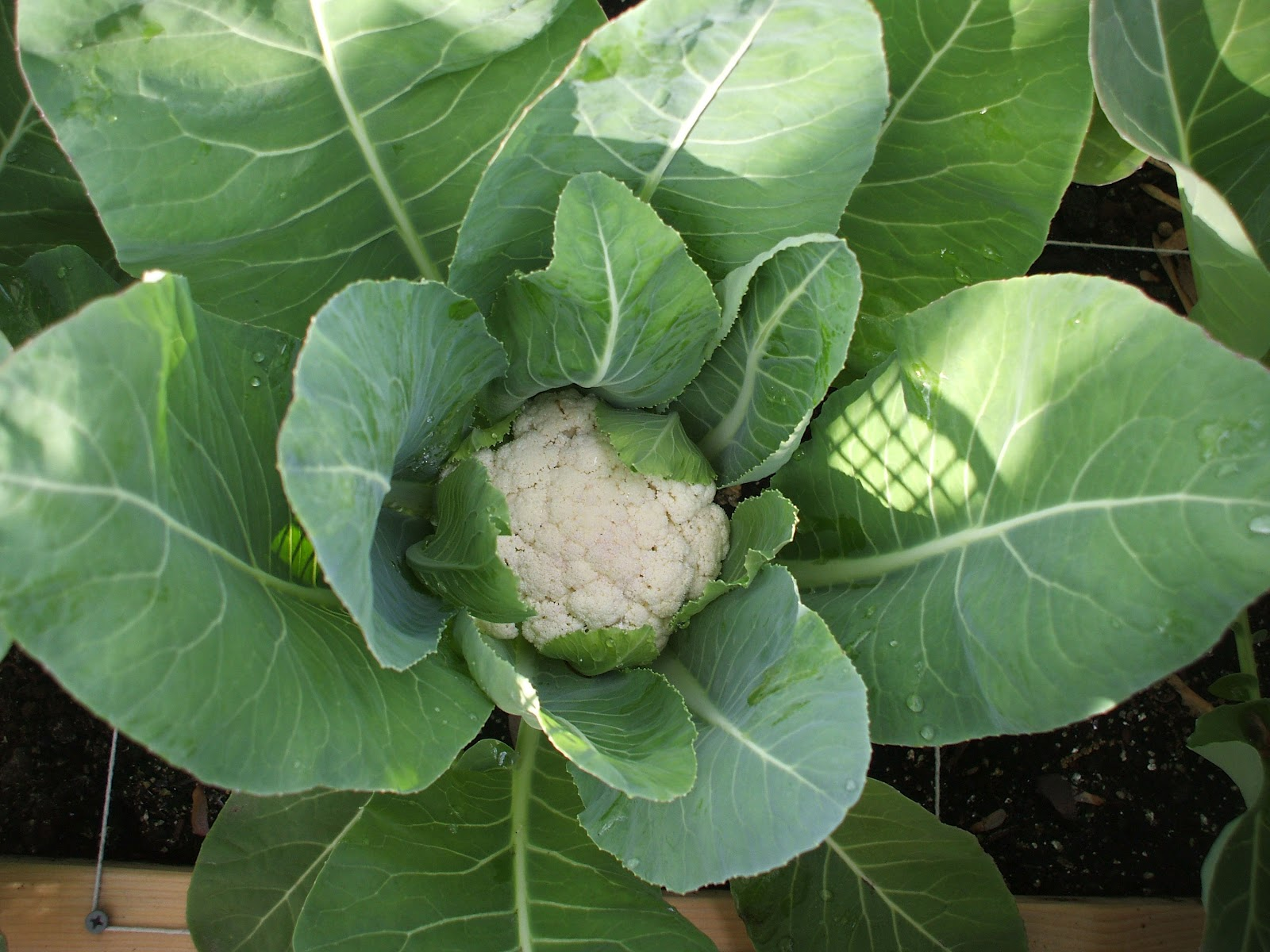 how to grow cauliflower nz