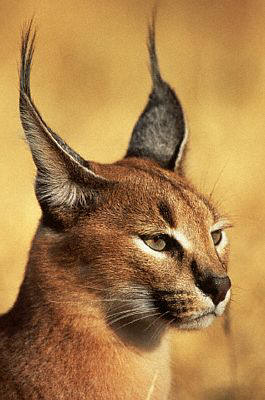 Cat With Black Tipped Ears