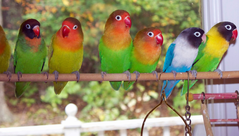 Gambar Cara Merawat Burung Lovebird