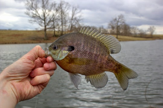 Spring panfish bluegill