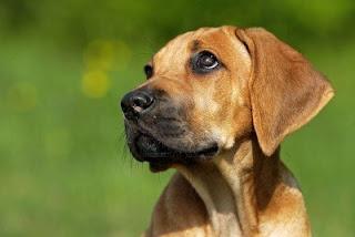 Rhodesian Ridgeback Puppy Picture