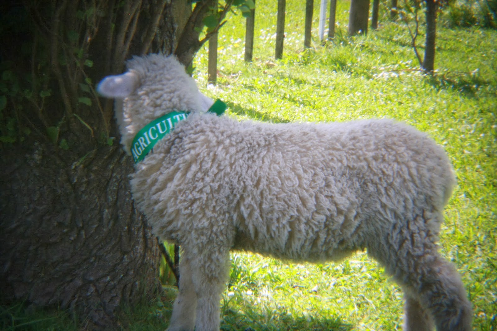 A lamb. Its ribbon says AGRICULTURE.