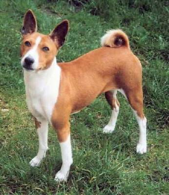 Basenji Dog Picture, Wallpaper of Puppies - Cute and Funny Pet ...