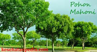 Pohon Mahoni - Kayu Mahoni