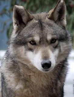 Canens Africae chien loup de saarloos