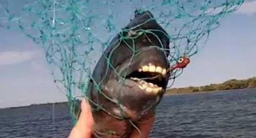 اكتشاف سمكة أمريكية ذات أسنان بشرية !!!!