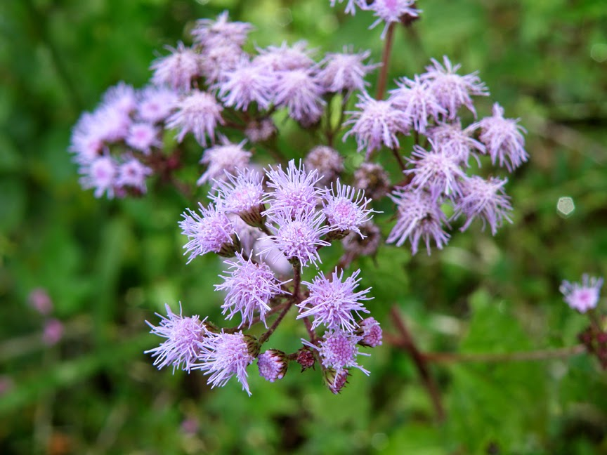 Florida wildflower foundation flower friday mistflower is a magnet for butterflies and moths mightylinksfo