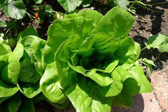 Little Gem Romaine lettuce, Lactuca sativa