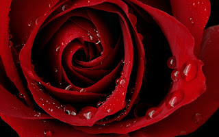Love Rose HD Wallpaper