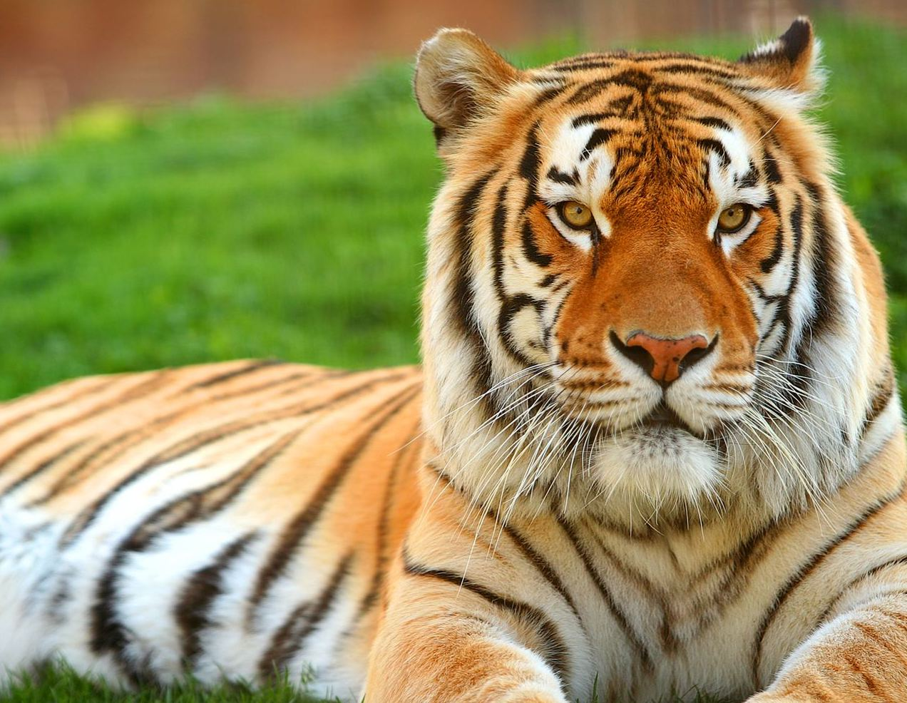 Tiger Photos Free Download